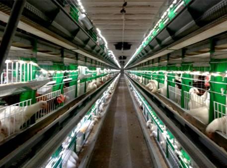 Светодиодное освещение для клеточного содержания птицы
